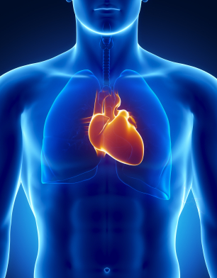 Cardiovascular system and visceral fat